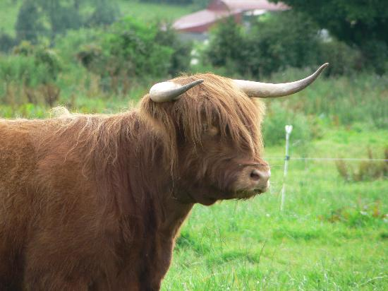 Byrnesgrove Bed & Breakfast: One of the Highland Cattle on the farm