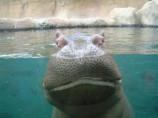 Sheraton Clayton Plaza Hotel St. Louis : Happy hippo at FREE zoo