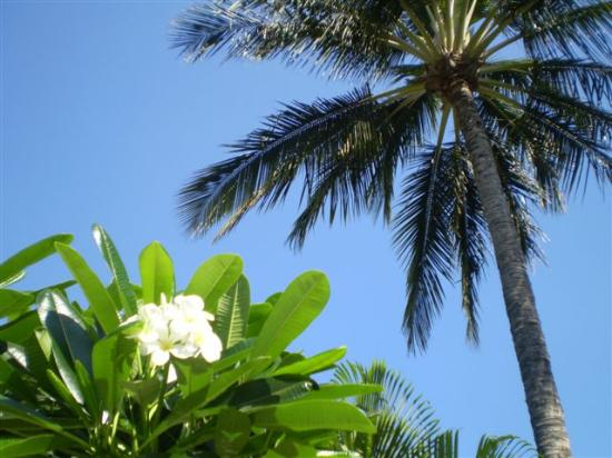 Haleakala Shores Condos: Plumeria tree's & Palms around the pool area...