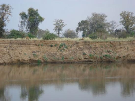 Luangwa River Camp: Lions on bank across from lodge