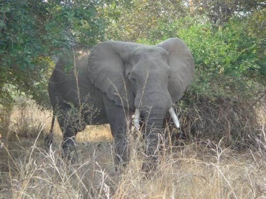 Luangwa River Camp: Elephant
