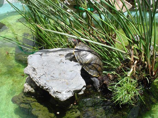 La Carihuela: Terrapin family in Courtyard pond