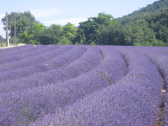 Provence-Alpes-Cote d'Azur, France: Lavender fields near Sault