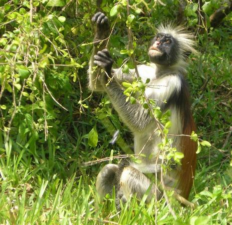 Pemba Island: red colobus rocker