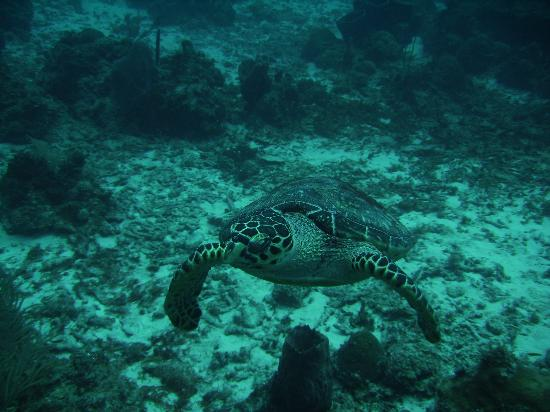 The Buccaneer St Croix: A sea turtle while diving