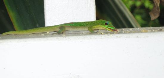Aloha Guest House: Entertaining geckos at a nearby diner