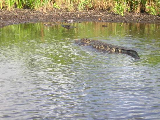 Fort Myers, FL: Here's a croc
