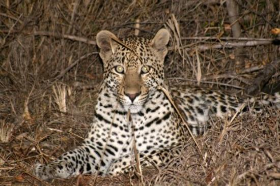 MalaMala Rattray's Camp: leopard