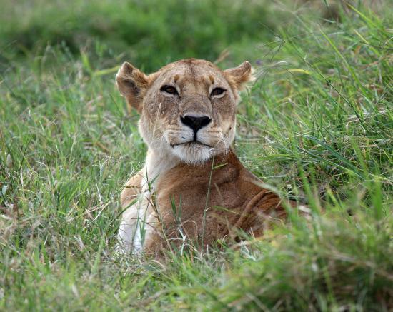 Mpata Safari Club: Something oriental about this lion