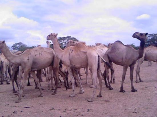 Mogadishu, Somalia: Camels