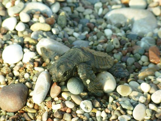 Caretta sea turtles on the beach at Cirali