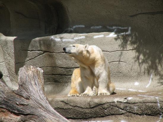 Polar Bears  wheres the snow  Picture of Cleveland Metroparks