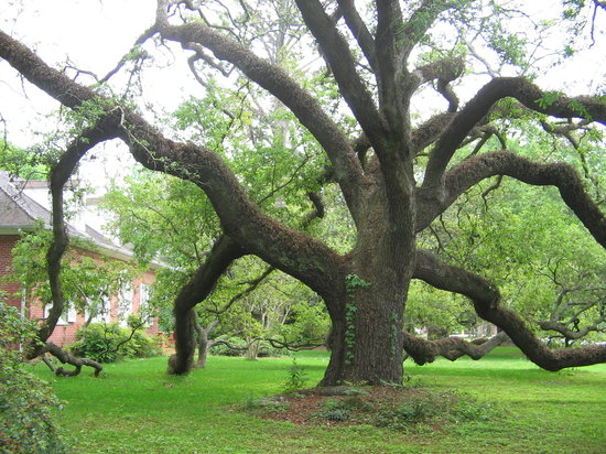 Houma, Луизиана: Beautiful old Oak tree