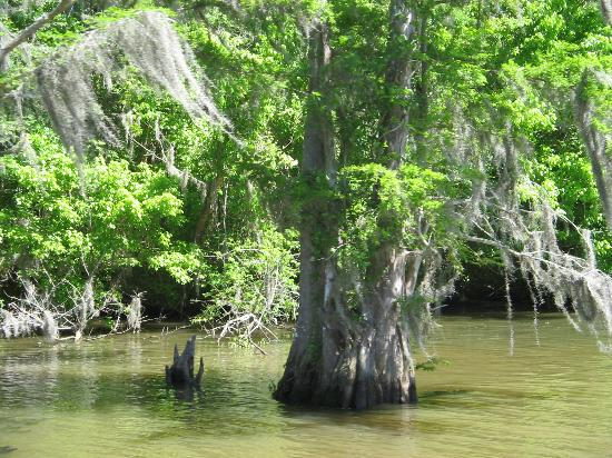 Houma, LA: Cypress trees and Spanish moss in the Bayou