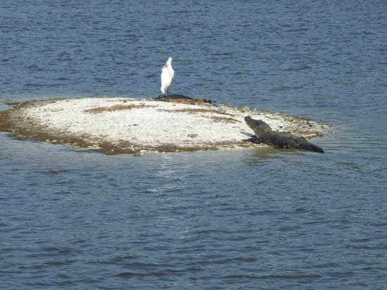 Huntington Beach State Park: A brave bird with two alligators.