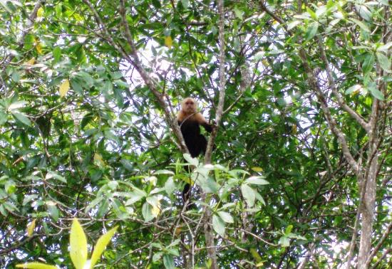 Hotel La Tranquilidad: White Faced Monkey visiting us while fishing in the Estuary