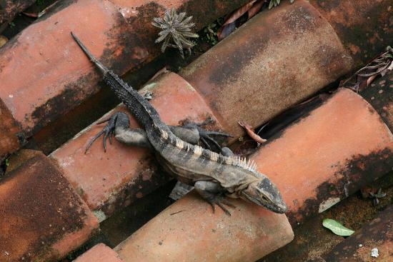 La Mariposa Hotel: Iguana on a rooftop