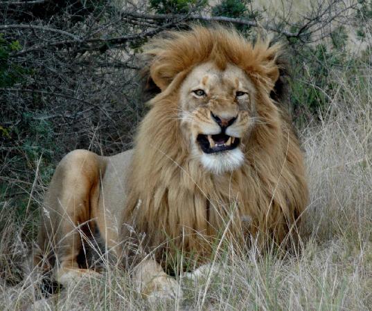 بومبا برايفيت جايم ريزيرف: Black lion