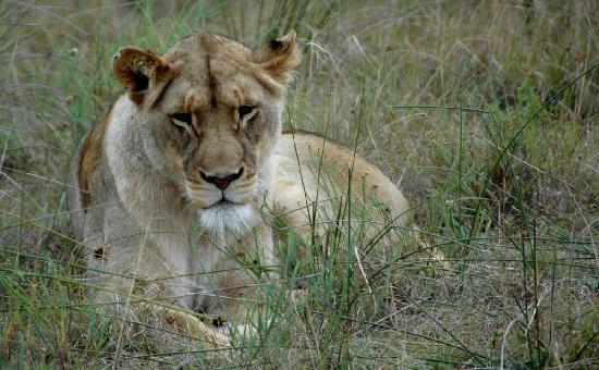 Pumba Private Game Reserve: Lioness