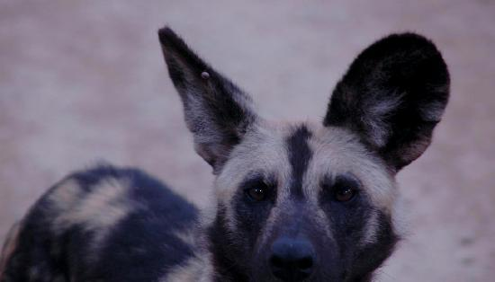 Pumba Private Game Reserve: Wild dog