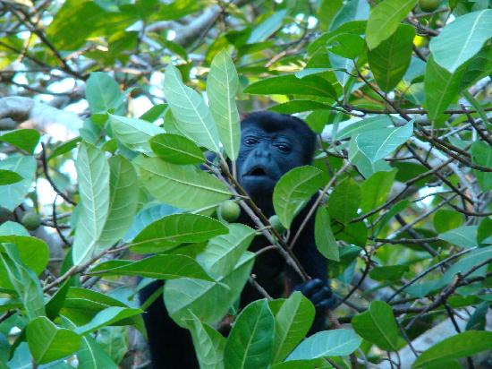 Casa Viva Beach Houses: The howler monkeys right next to our cabina