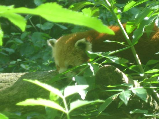 Doué-la-Fontaine, France : Red panda