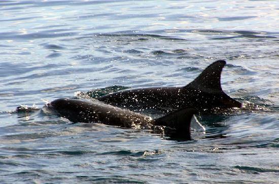 Lomalagi Resort ~ Fiji: Spinner dolphins