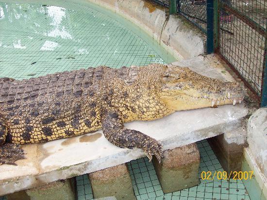 Crocodile Adventureland Langkawi : Croc 1