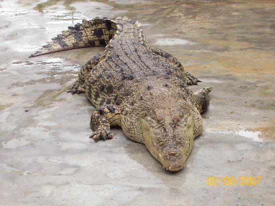 Crocodile Adventureland Langkawi : Croc 2