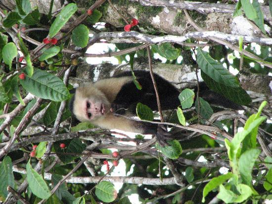 Aguila de Osa Inn: Monkey in Corcovado