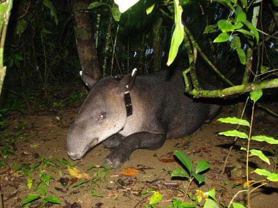 Aguila de Osa Inn: Tapir in Corcovado