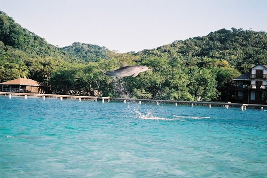Roatan Institute for Marine Sciences - Anthony's Key Resort: dolphins