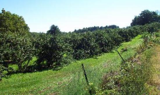 apple trees, a common Stow sight