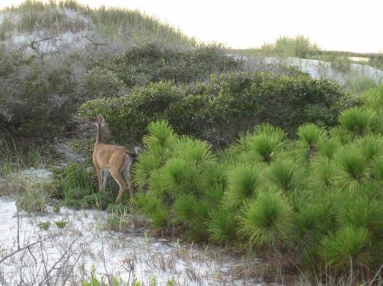 Port Saint Joe, FL: Deer in woods by the walkway north of campsites on beach side