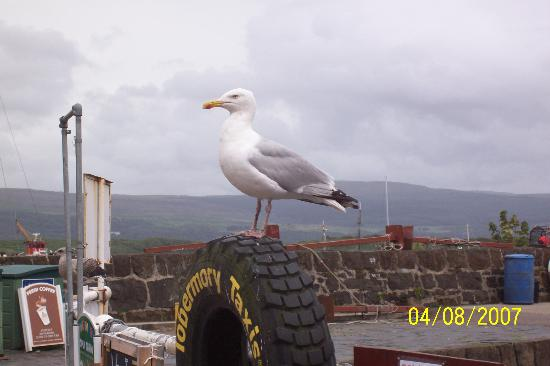 Isola di Mull, UK: Even the gulls wait for taxis in Tobermory