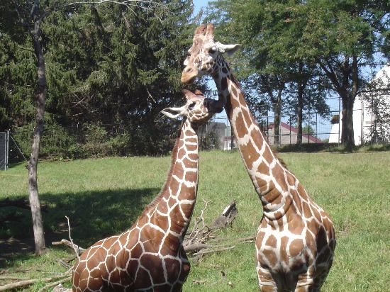 Des Moines, IA: Giraffes - Blank Park Zoo
