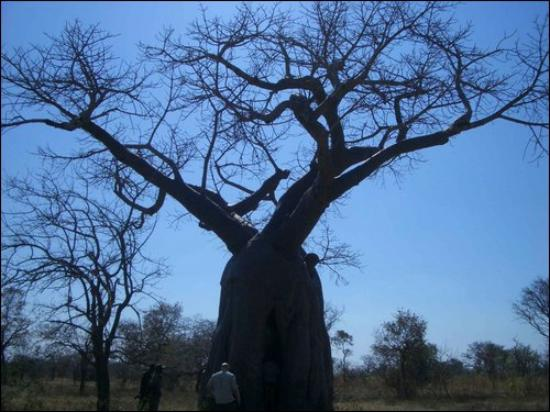 Lochinvar National Park, Zambia: Lochinvar Baobab Tree