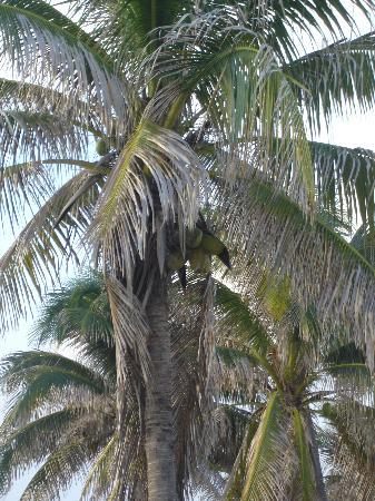 Emerald Seas Resort: Palm Tree with Coconuts