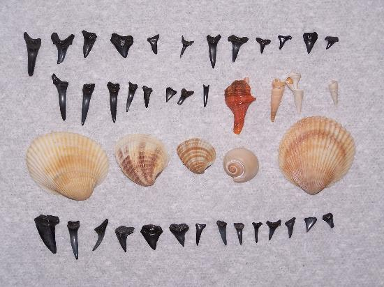 Ocean Park Resort, Oceana Resorts: Shark's Teetha and shells found on the beach of Ocean Park Resort