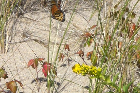 Herring Cove Beach: More butterflies