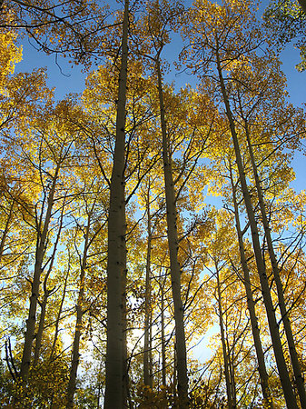 Aspens near Gunnison, CO