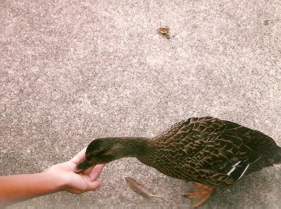 Feeding a duck at Dollywood