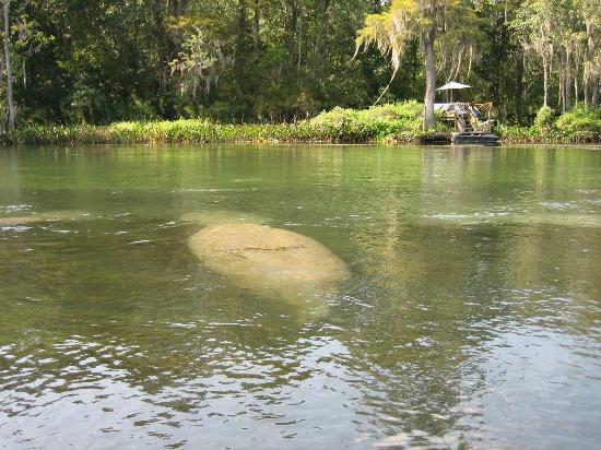 Crawfordville, FL: Manatees!