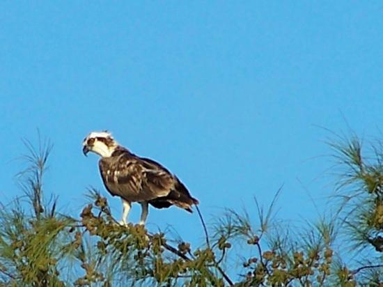 White Gate Court: Osprey