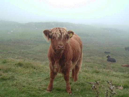 Isle of Mull, UK: One of the locals!