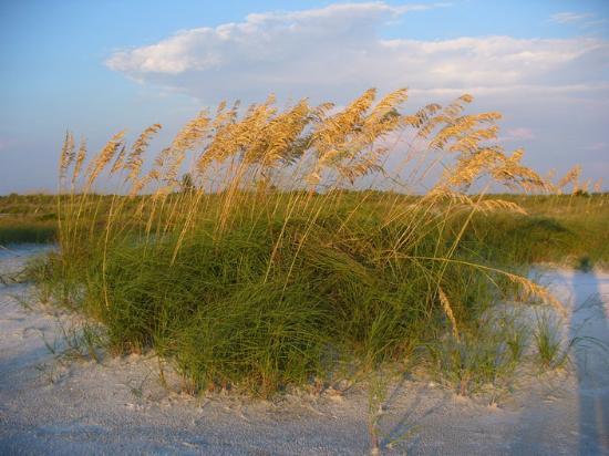 Fort De Soto Park: Sea oats