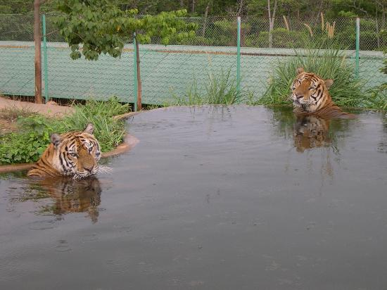 Subic Bay Freeport Zone, Filipinas: Tigers viewed from Jeepney