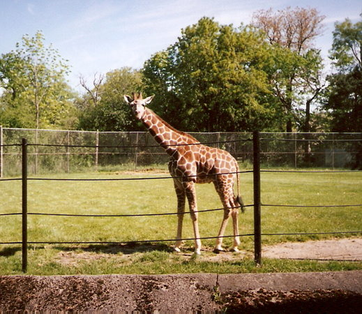The Buffalo Zoo: Giraffe at Buffalo Zoo