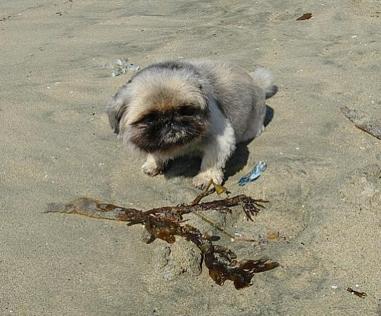 Huntington Beach, CA: Pekingese dog on beach
