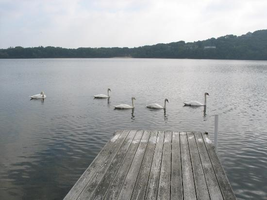 Scargo Manor Bed and Breakfast: Swans making a visit to the dock